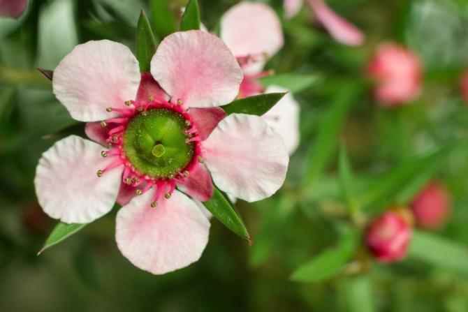 krzew herbaciany manuka